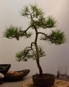 Pine before